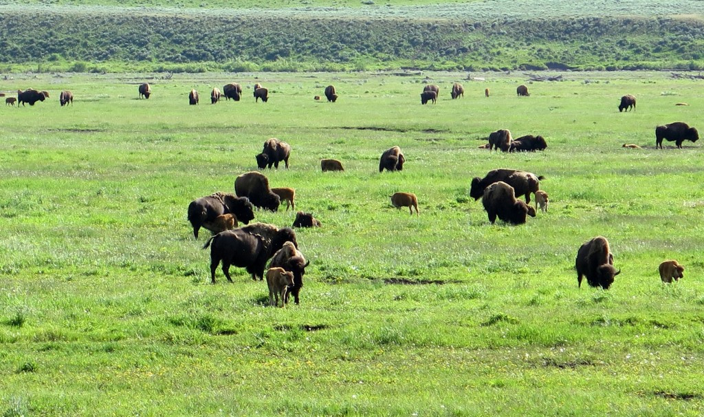 23-Bisontes con sus crias_Yellowstone_IMG_0508